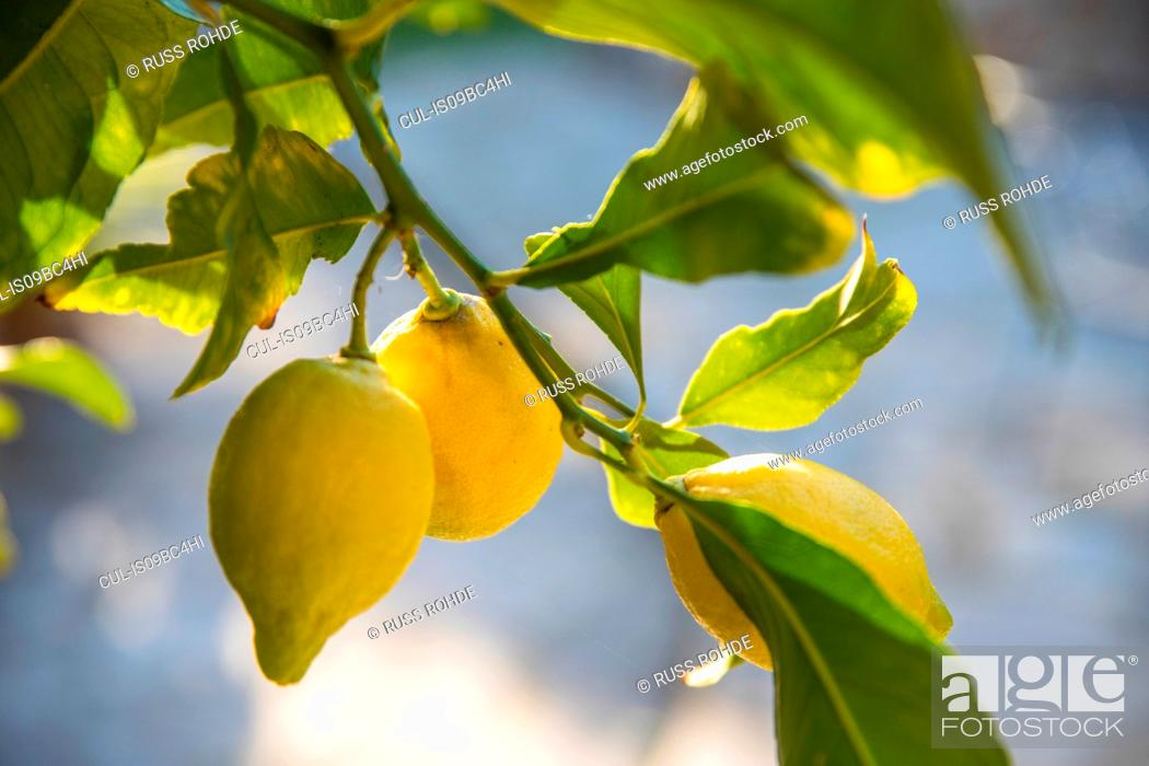 Stock Photo: Lemons growing on tree.
