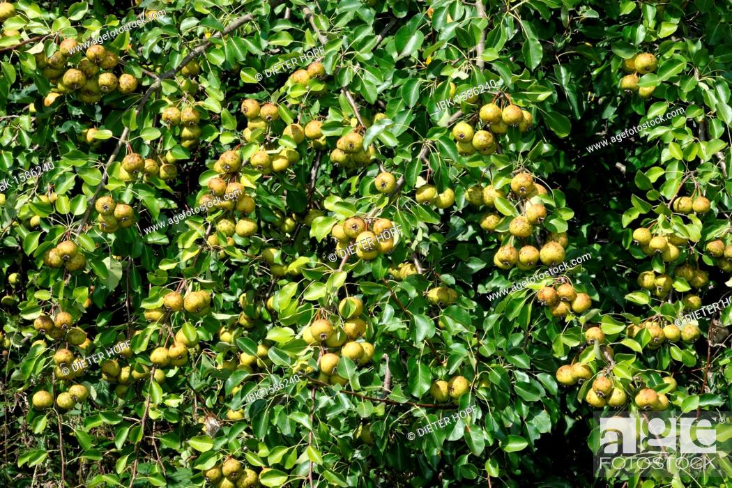 Stock Photo: European Pear (Pyrus pyraster) in an orchard meadow, Allgaeu, Bavaria, Germany, Europe.