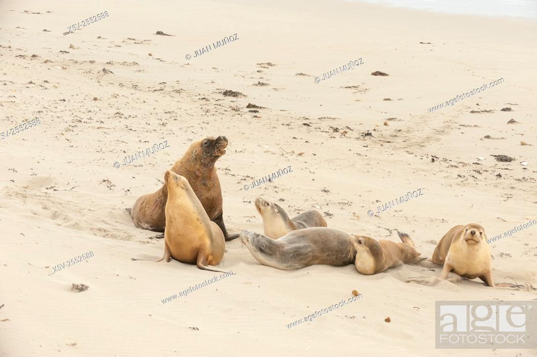 Stock Photo: Australian sea lions Neophoca cinerea. Seal Bay Conservation Park. Kangaroo island. South Australia. Australia.