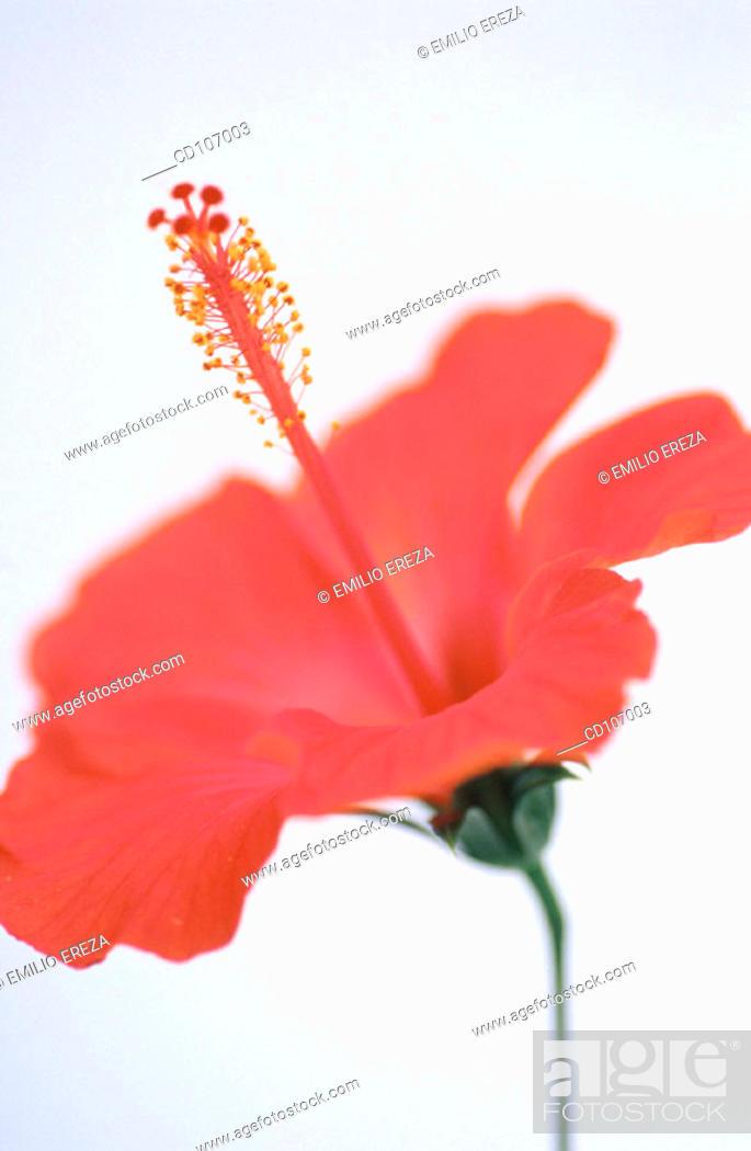 Stock Photo: Hibiscus (Hibiscus rosa-sinensis).