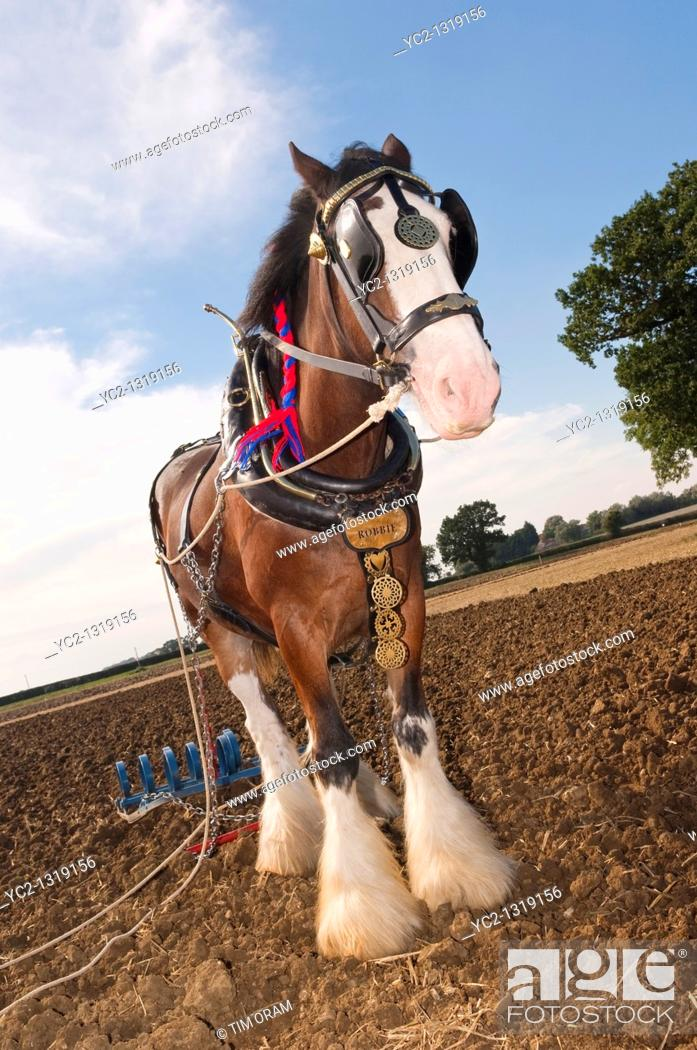 Stock Photo: A shire horse  breed of draught horse  with plough attatched for ploughing in the Uk.