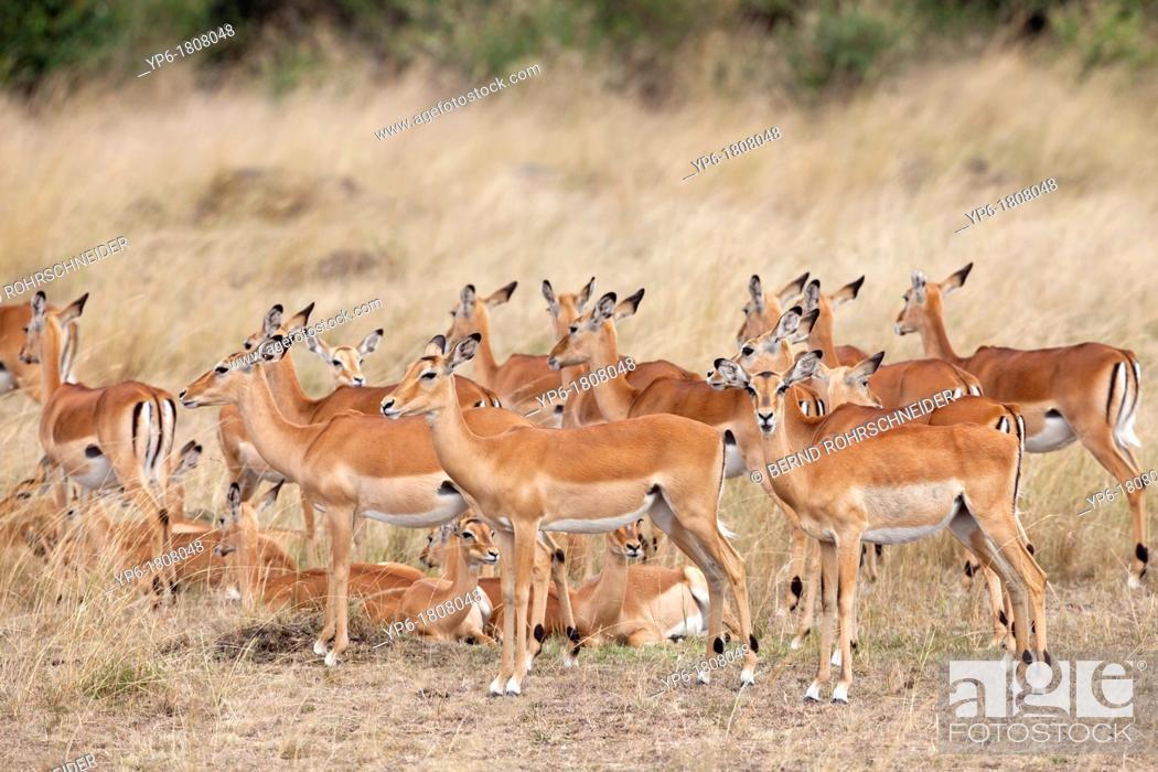 Imagen: group of Impalas Aepyceros melampus, Masai Mara, Kenya.