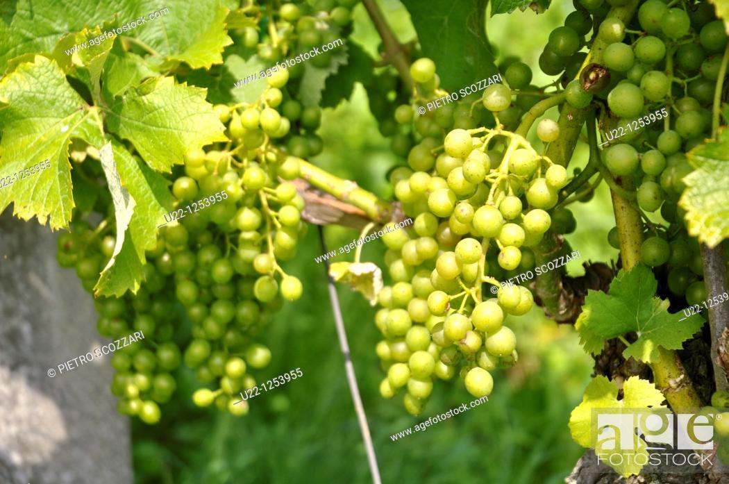 Stock Photo: Baden (Argovia, Switzerland): grape cultivated field on the hills.
