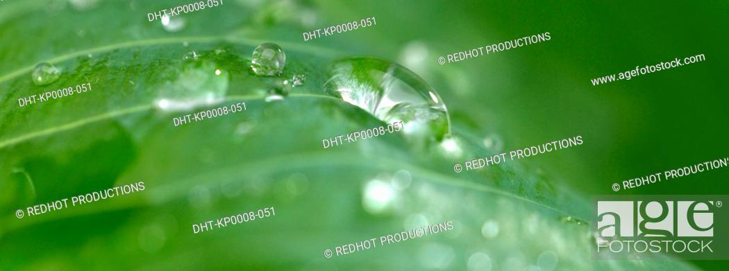 Stock Photo: Green leaves with dew.