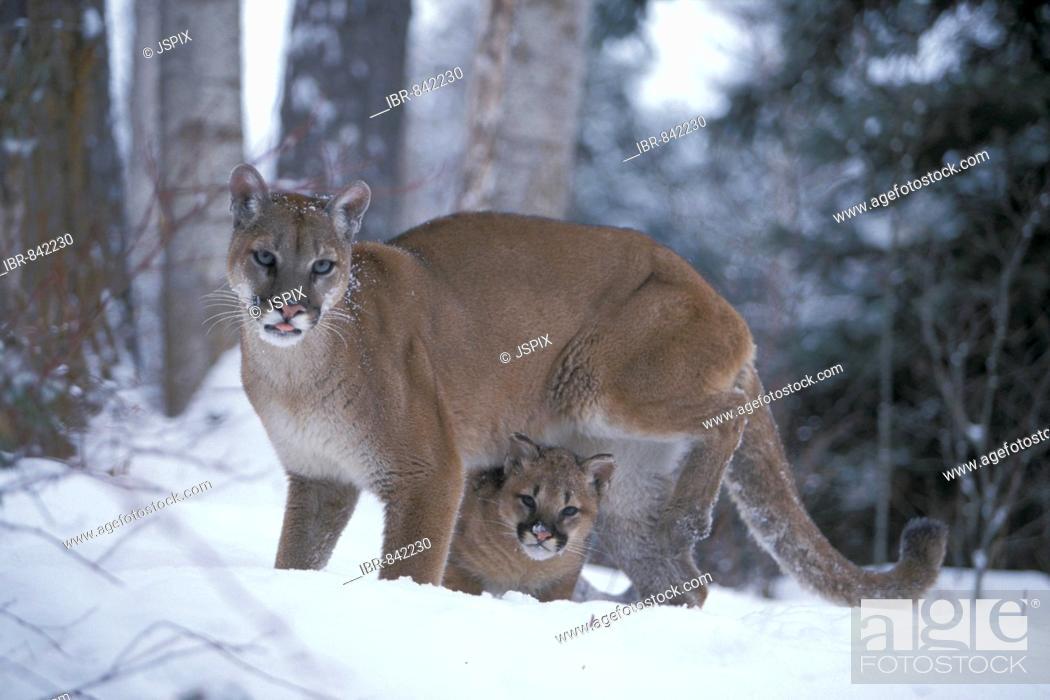 Stock Photo: Female Cougar or Puma (Puma concolor) in snow with a cub, Montana, USA, North America.