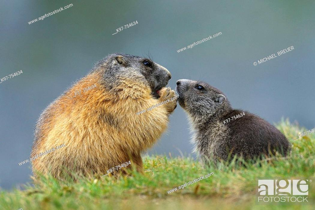 Photo de stock: Alpine marmots in National Park Hohe Tauern, Adult with young, Groß Glockner, Austria.