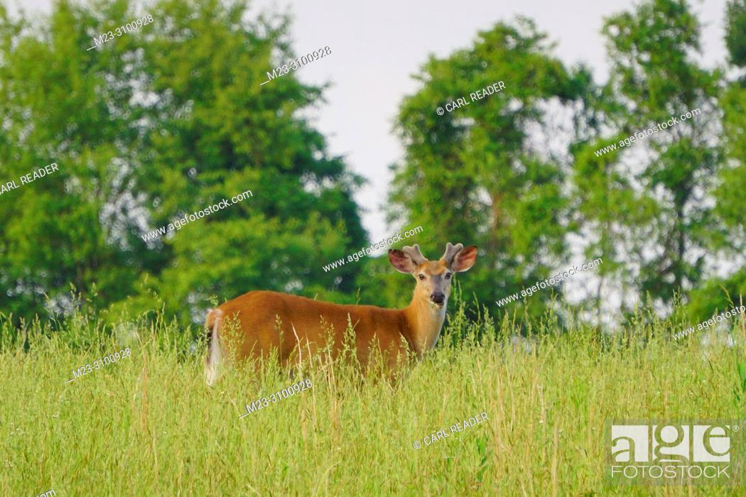 Imagen: A white-tailed deer buck, Odocoileus virginianus, with its antlers regrowing, Pennsylvania, USA.
