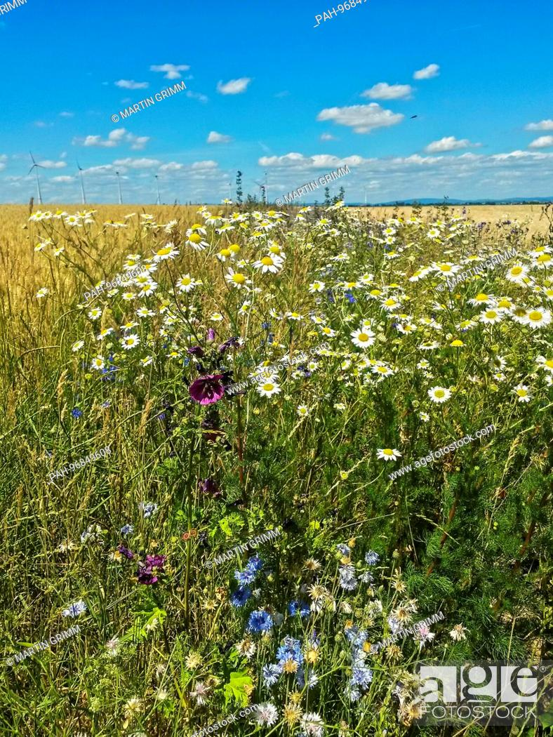 Wildflower field margin for insects in intensive agriculture, Hesse