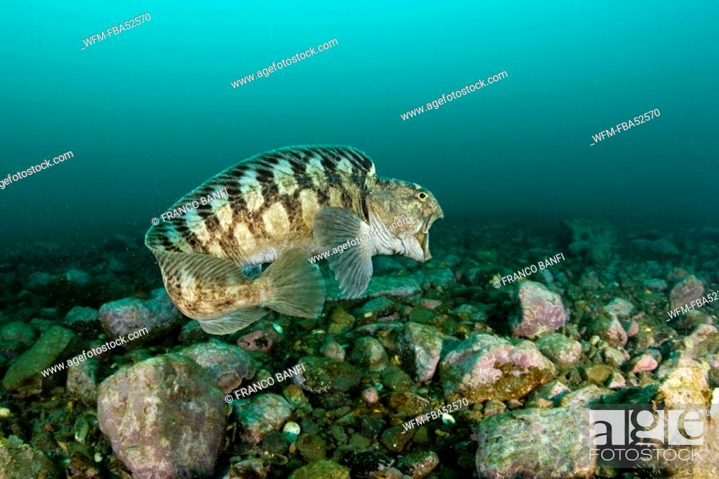 Stock Photo: Catfish swimming, Anarhichas minor, Spitsbergen, Svalbard Archipelago, Norway.
