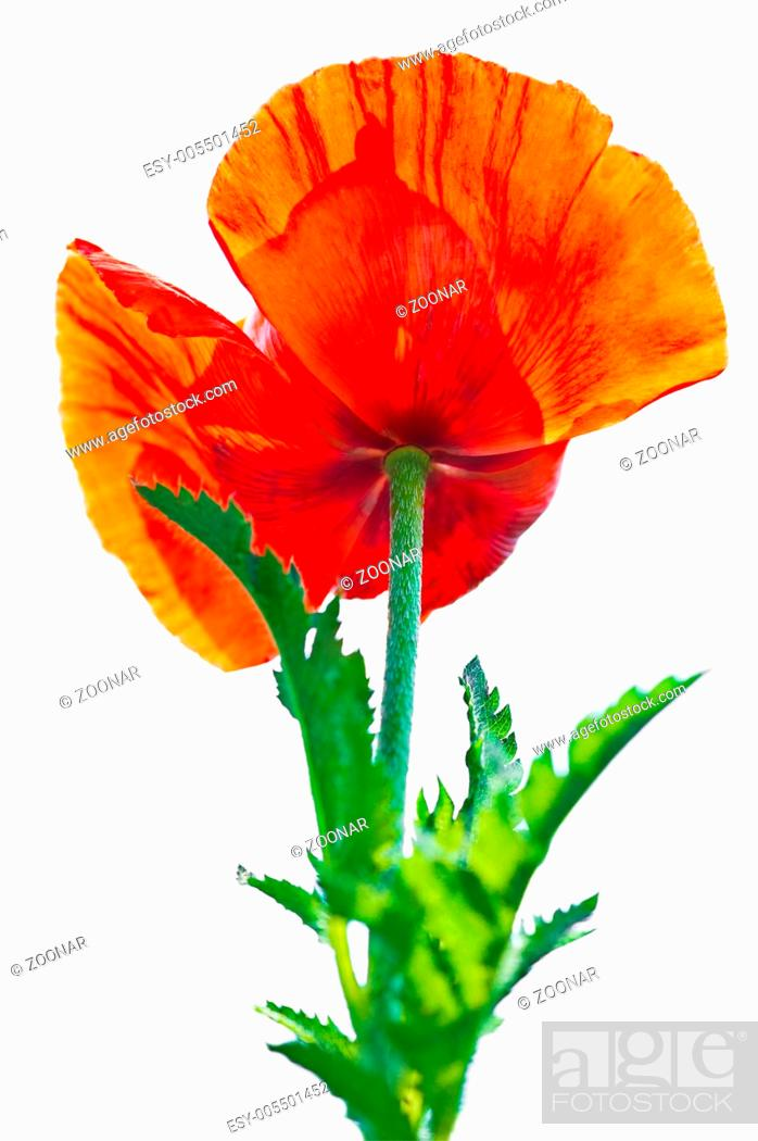 Stock Photo: Poppy flower. Big decorative garden poppy.