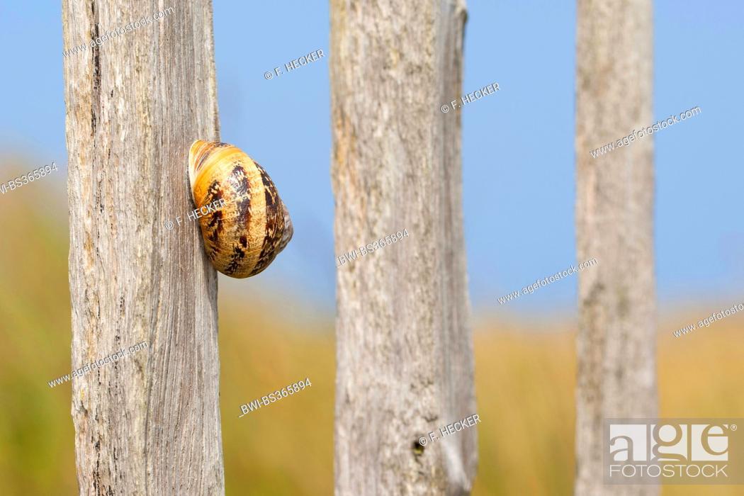 Stock Photo: brown garden snail, brown gardensnail, common garden snail, European brown snail (Helix aspersa, Cornu aspersum, Cryptomphalus aspersus).