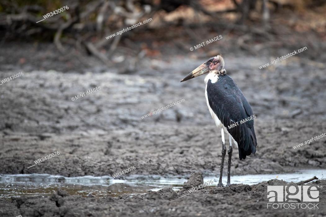 Stock Photo: A marabou stork, Leptoptilos crumenifer, stands in mud.