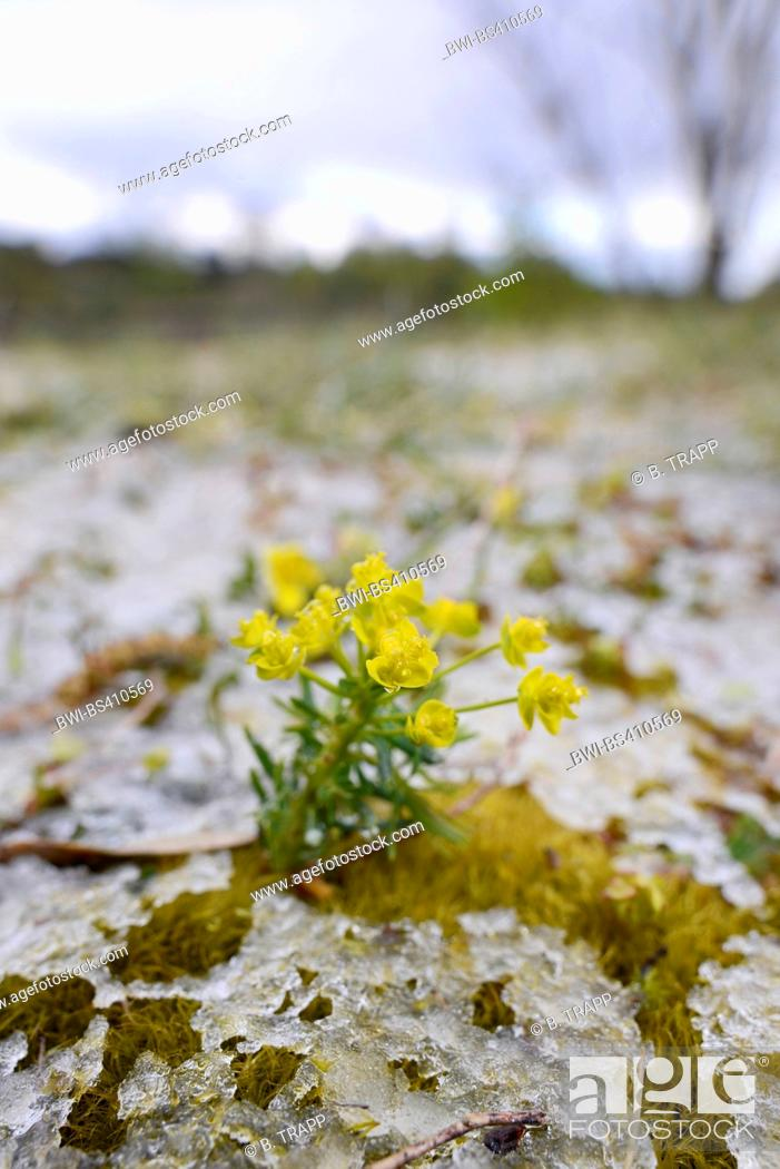 Stock Photo: cypress spurge (Euphorbia cyparissias), blooming between moss with melting ice, Germany.