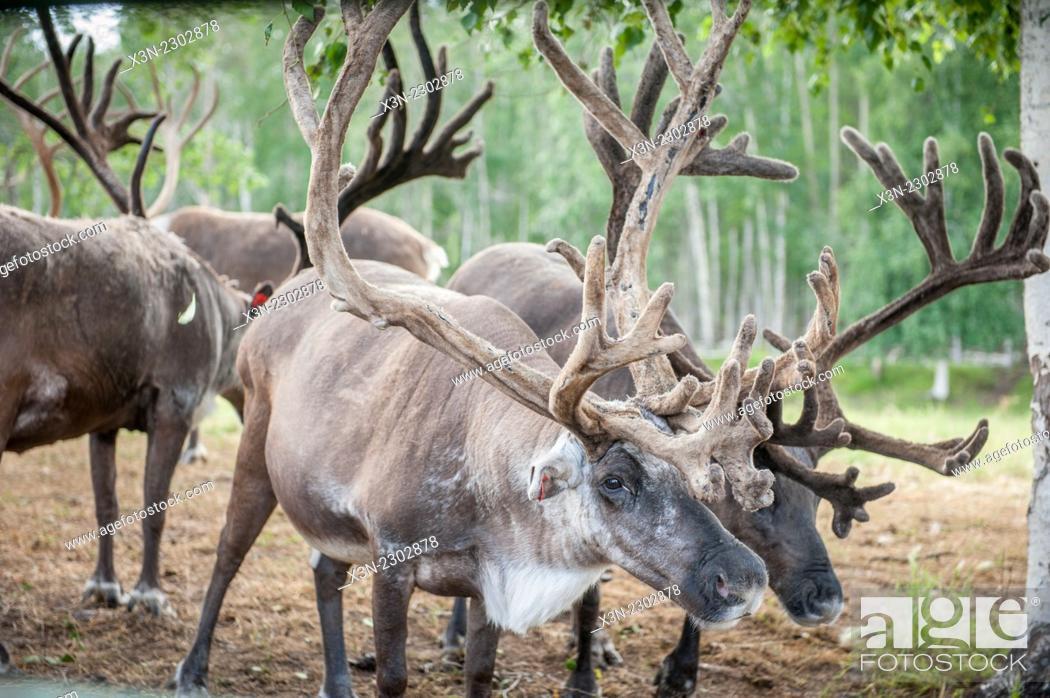 Stock Photo: Herd of reindeer (Rangifer tarandus).