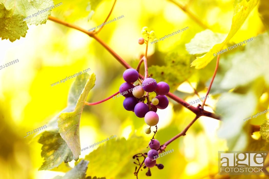 Stock Photo: Blue bunch of grapes on yellow blurred background.