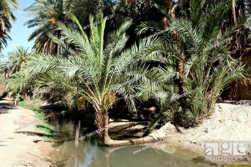 Imagen: Tunisia - Tozeur - Palm trees in the palm grove and an irrigation canal.