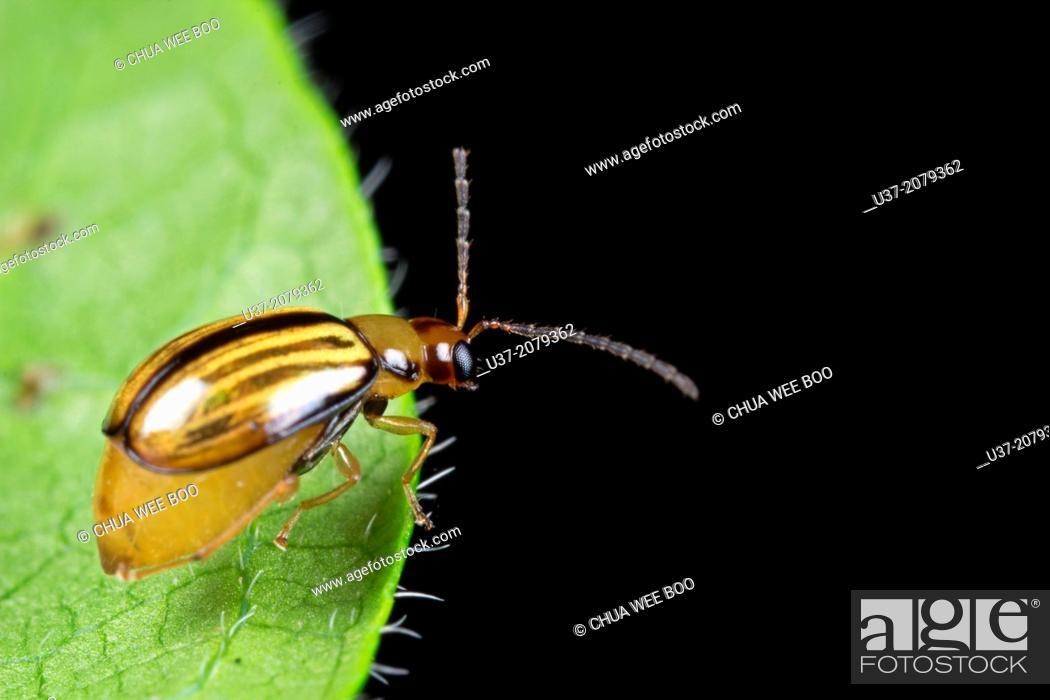 Stock Photo: Beetle. Image taken at Kampung Skudup, Sarawak, Malaysia.
