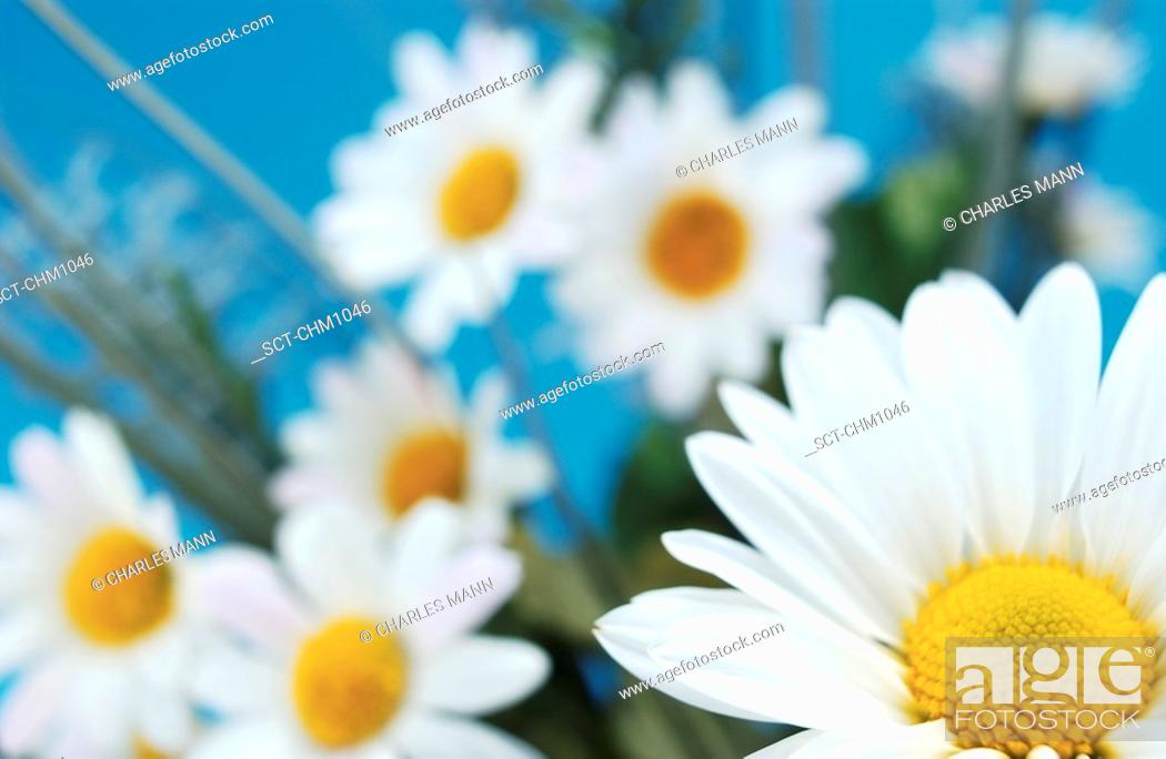 Stock Photo: Close-up off center shot of a single daisy in a studio with more  naturally arranged daisies out of focus in the background.