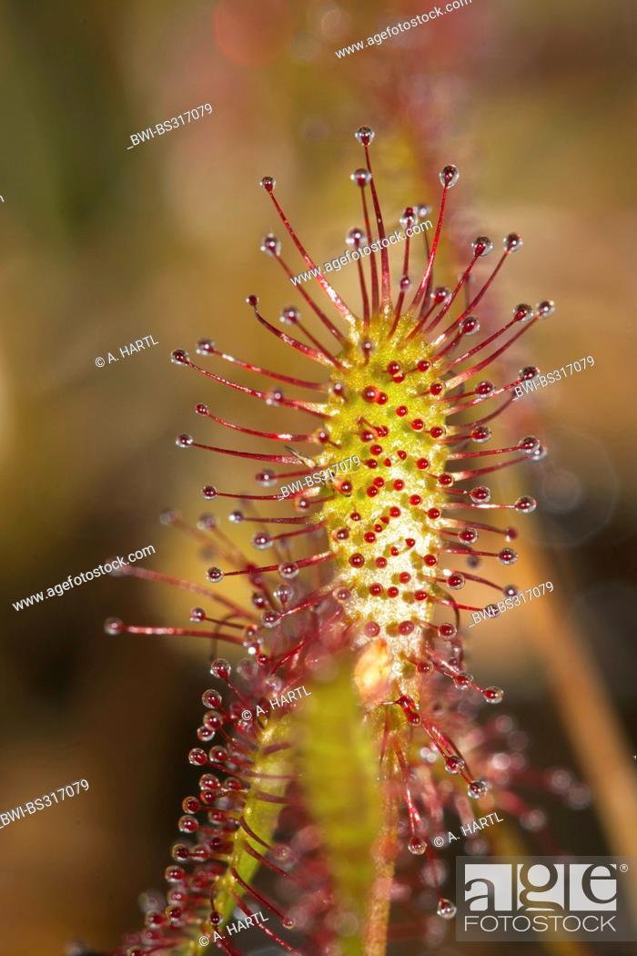 Stock Photo: great sundew, English sundew (Drosera anglica), leaf with glands, Germany.