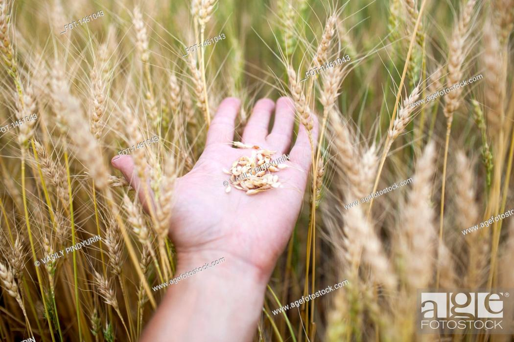Stock Photo: Close-up of hand holding wheat at farm.