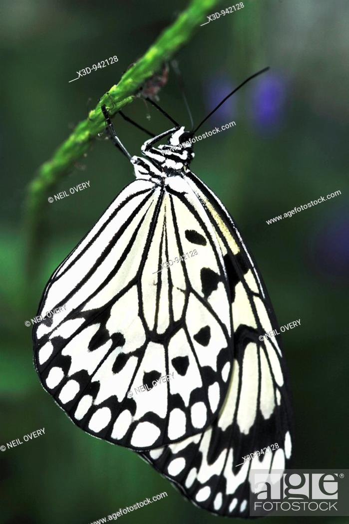 Stock Photo: Rice Paper butterfly (Idea leuconoe) hanging from stem of plant.