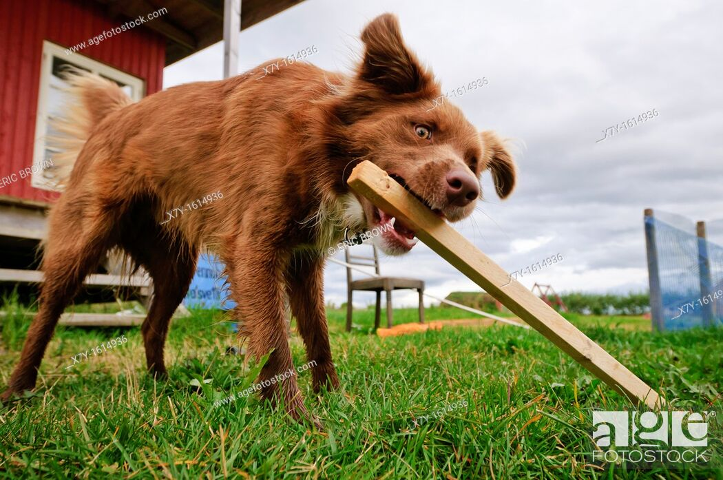 Stock Photo: A dog playing with a piece of wood.