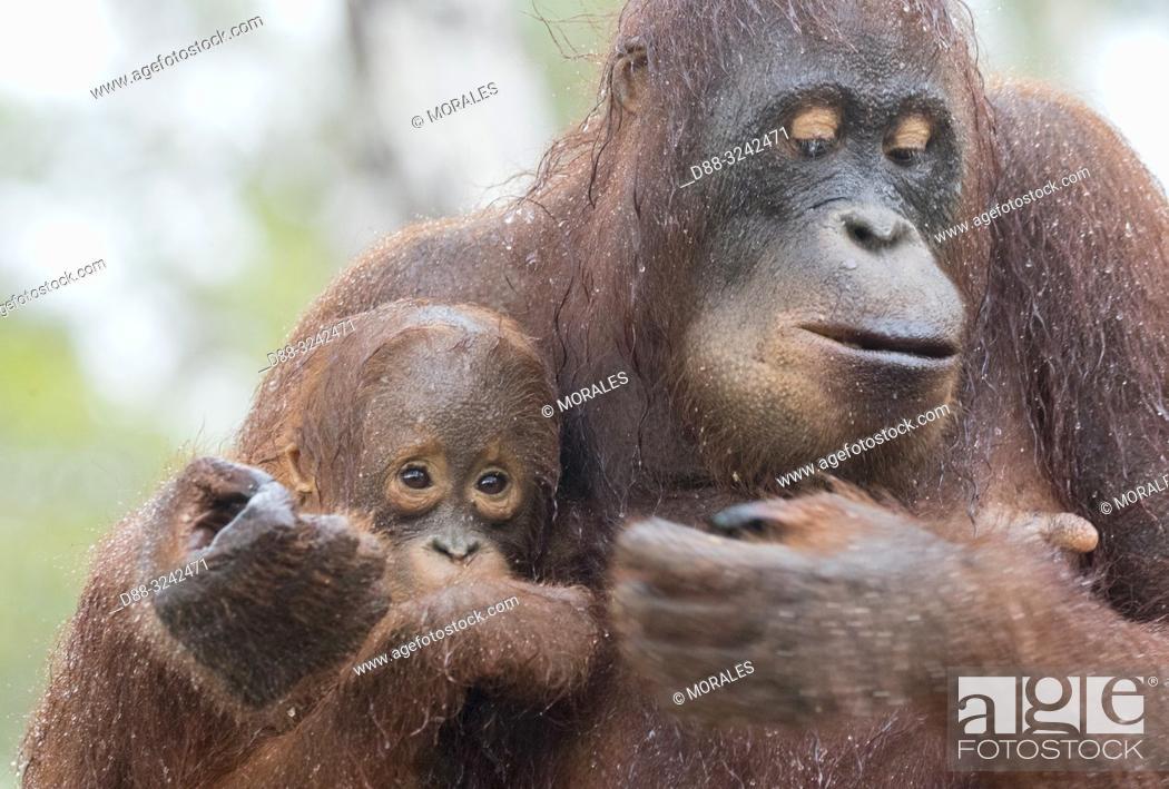 Stock Photo: Asia, Indonesia, Borneo, Tanjung Puting National Park, Bornean orangutan (Pongo pygmaeus pygmaeus), Adult female with a baby.