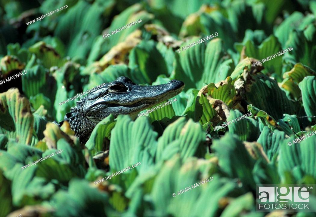 Stock Photo: American Alligator , Alligator mississippiensis.