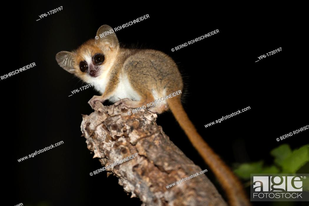 Stock Photo: Gray-brown Mouse Lemur Microcebus griseorufus sitting on branch at night, Berenty, Madagascar.