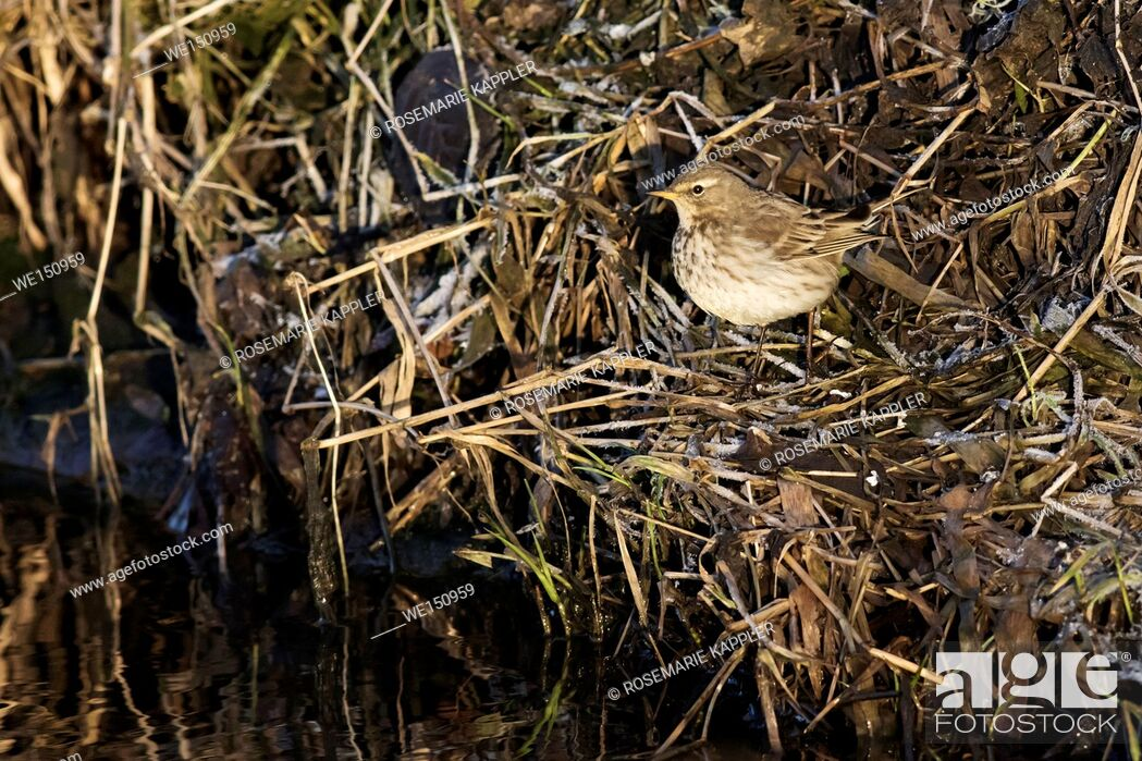 Stock Photo: germany, saarland, Homburg - A water pipit on the riverside.