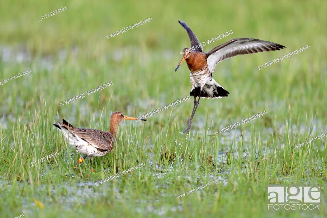 Stock Photo: black-tailed godwits (Limosa limosa) fighting in a meadow, Lake Duemmer, Germany.