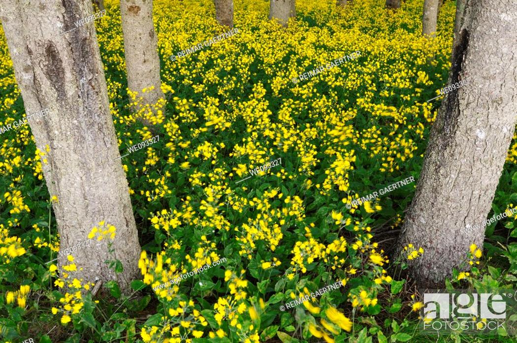 Stock Photo: Blanket of yellow flowering wildflowers in a forest in Cape Breton Island Canada.