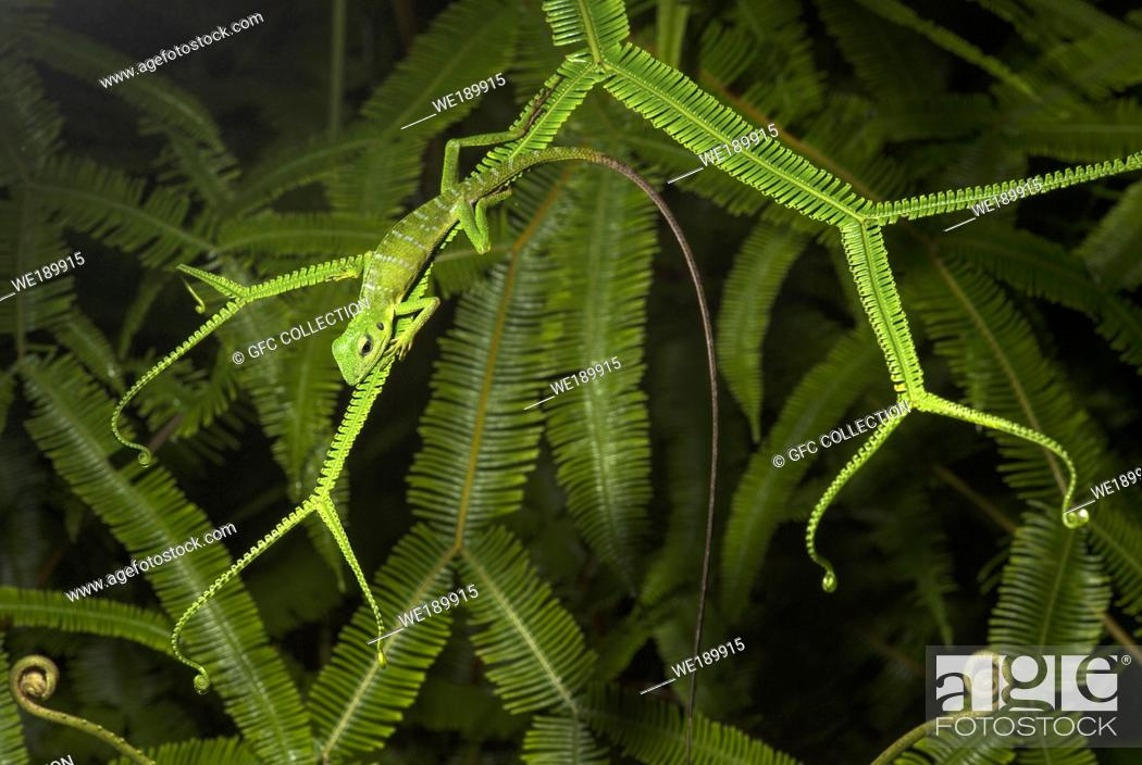 Photo de stock: Green Crested Lizard (Bronchocela cristatella), Agamidae family, Kubah National Park, Kuching, Sarawak, Borneo, Malaysia.