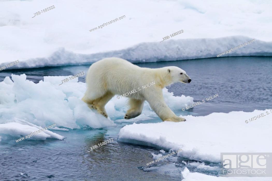Stock Photo: Adult male polar bear Ursus maritimus on multi-year ice floes in Franz Josef Land, Russia, Arctic Ocean.