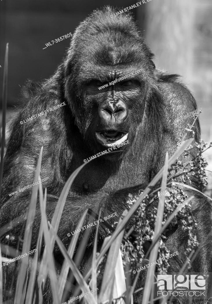 Stock Photo: Adult Western Lowland Gorilla (Gorilla gorilla gorilla) captive Bristol UK. August 2019.