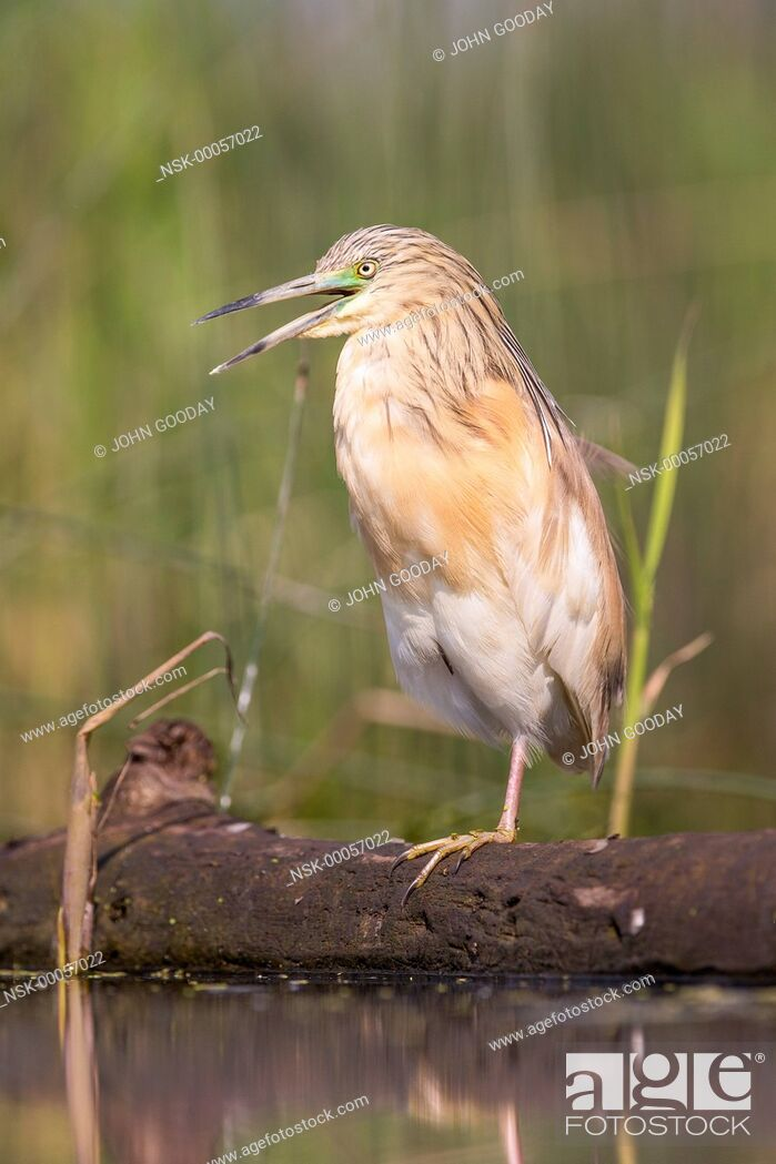 Imagen: Squacco Heron (Ardeola ralloides) perching on one leg on a floating log, Hungary, Bacs-kiskun, Kiskunsagi National Park.