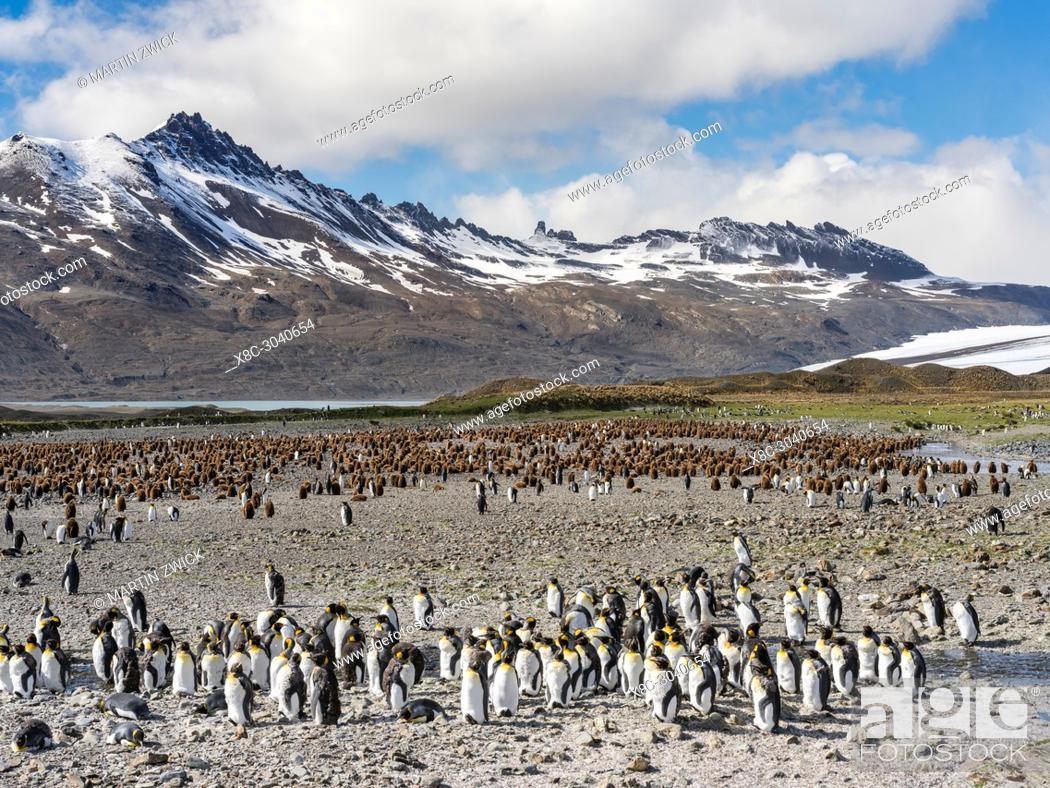 Imagen: King Penguin (Aptenodytes patagonicus) on the island of South Georgia, the rookery in Fortuna Bay. Antarctica, Subantarctica, South Georgia.