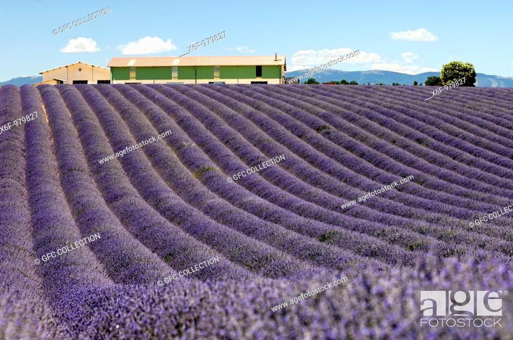 Stock Photo: Lavender field, Plateau de Valensole, Provence, France.