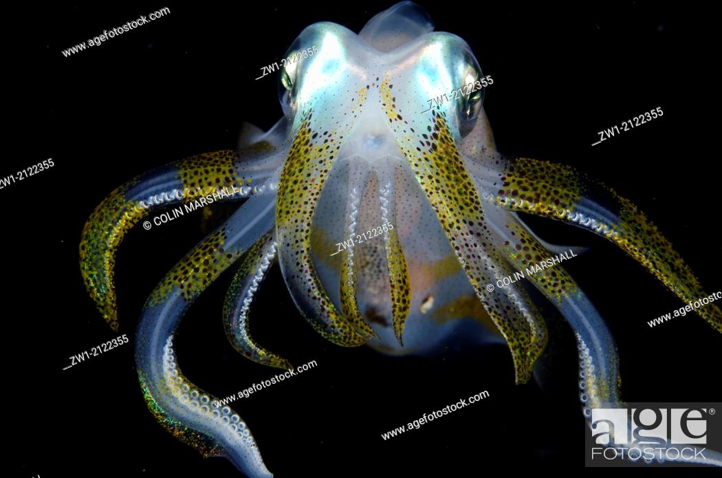 Imagen: Bigfin Reef Squid (Sepioteuthis lessoniana) at night at Critters@Baengabang dive site in Pantar near Alor in eastern Indonesia.