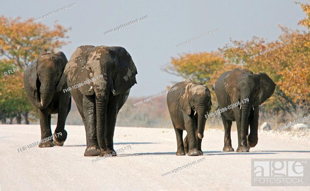 Stock Photo: African Elephant Loxodonta africana adults and juveniles, walking along road, Etosha, Namibia.