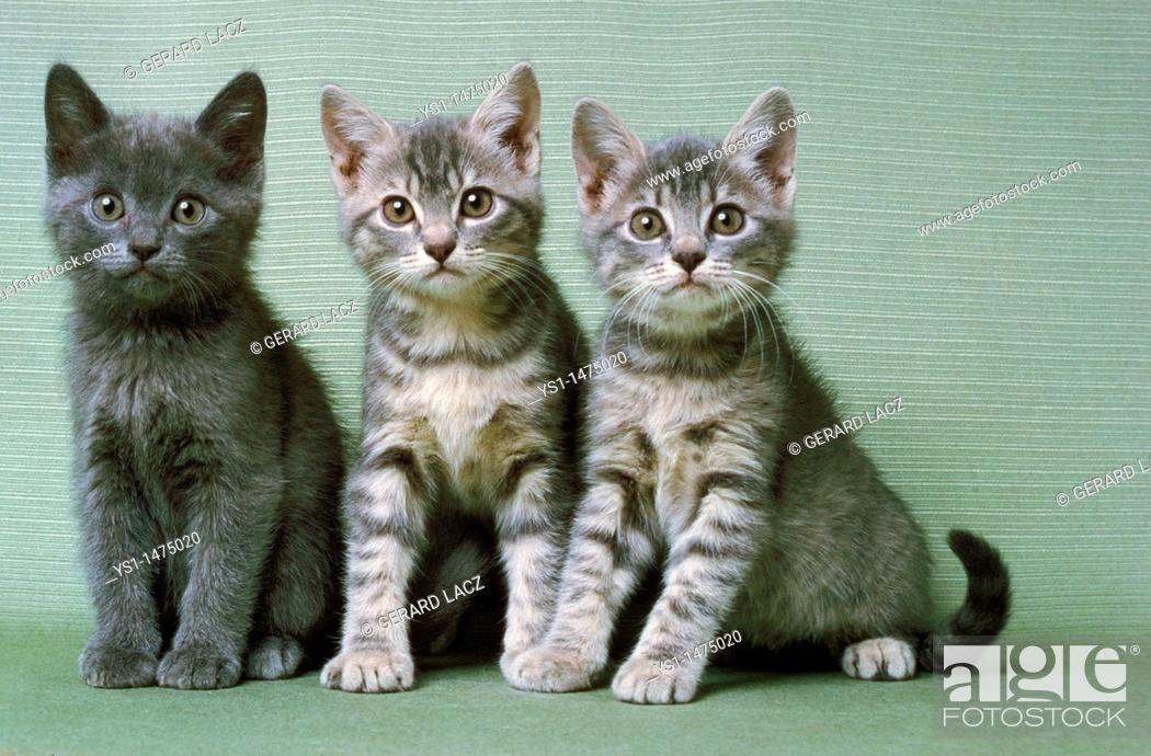 Stock Photo: Silver Tabby Domestic Cat, Kitten sitting.