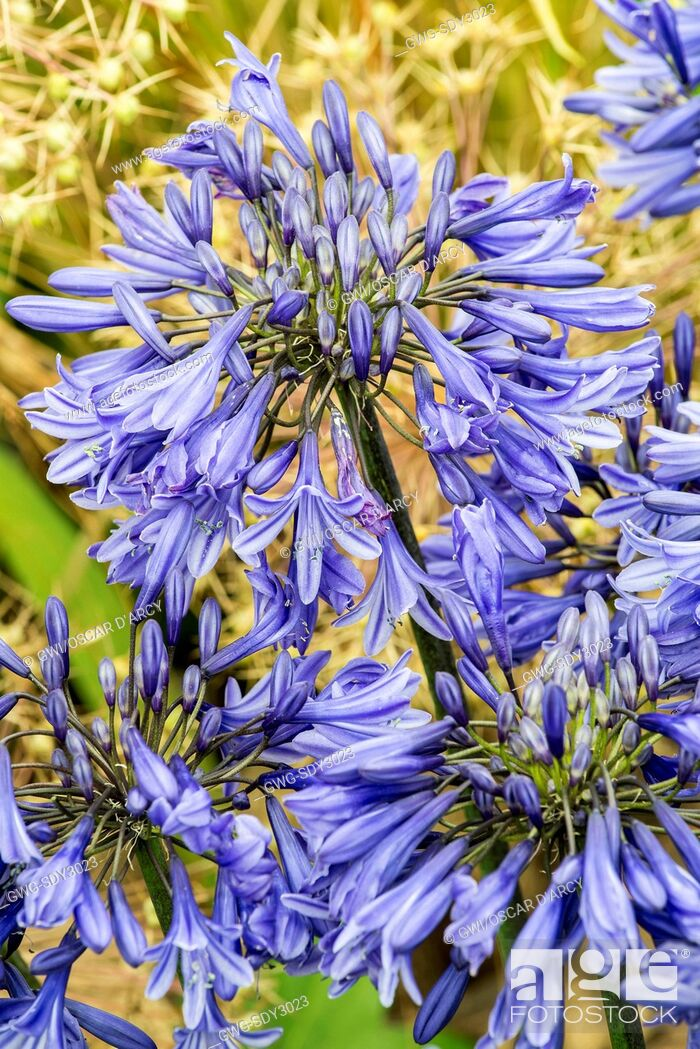 Stock Photo: AGAPANTHUS 'MIDNIGHT STAR'.