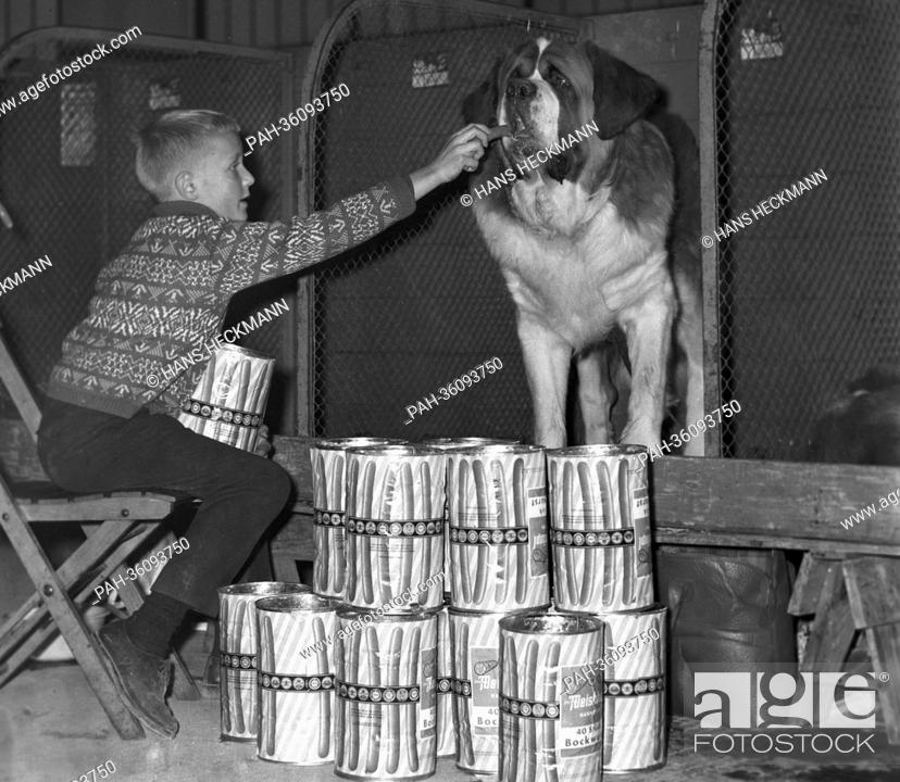 Stock Photo: A boy feeds his Saint Bernard dog with canned sausages during the federal winner's conformation show in Hannover on 11 November 1963.