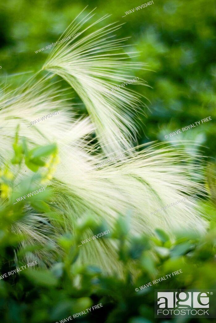Stock Photo: Foxtail barley in yellow clover, organic garden, Manitoba, Canada.