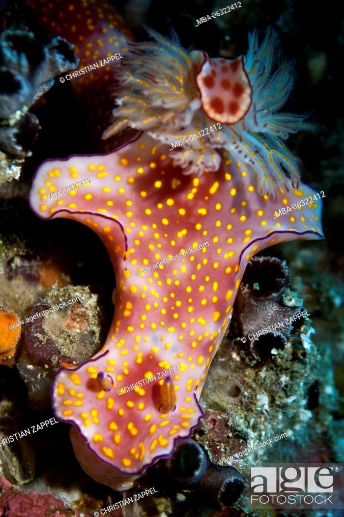 Imagen: Sea slug, Ceratosoma trilobatum, Gulf of Oman, Oman, Asia.