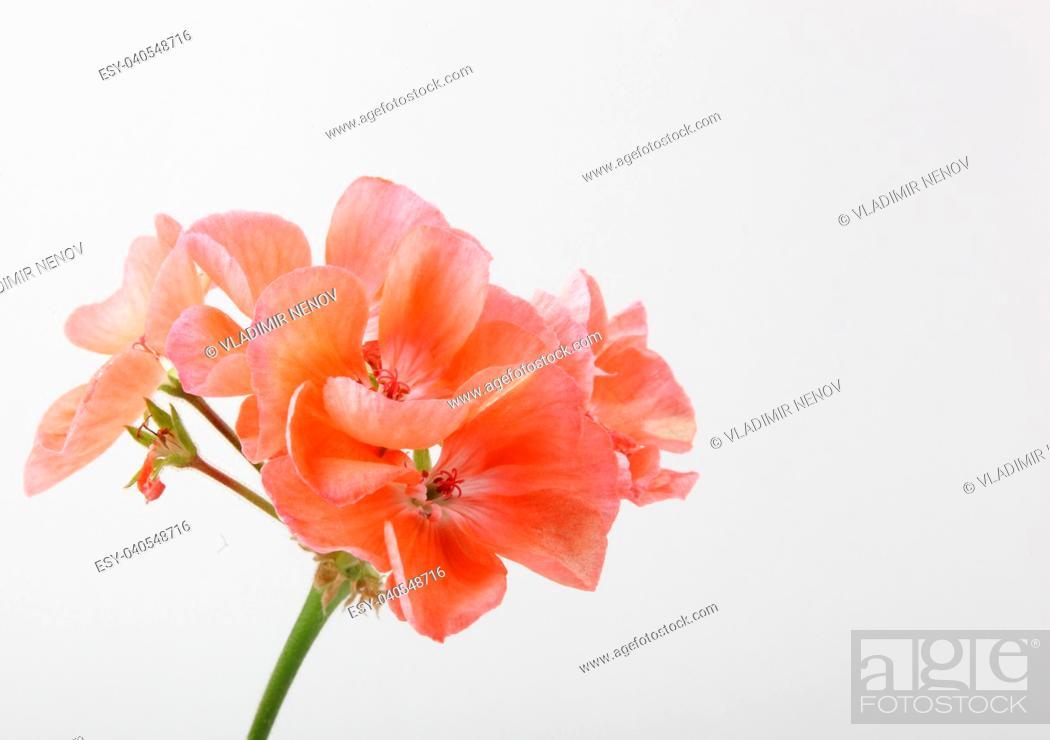 Stock Photo: Geranium Pelargonium Flowers.
