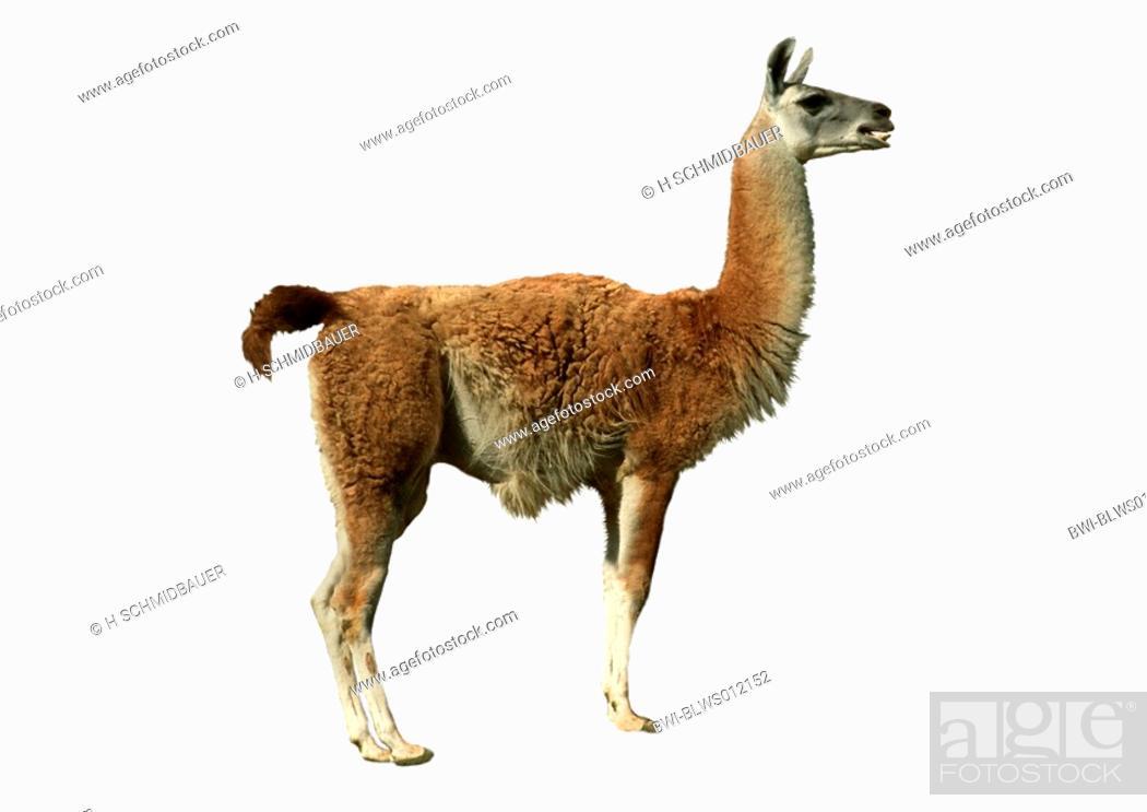 Stock Photo: guanaco Lama guanicoe, cutted out.