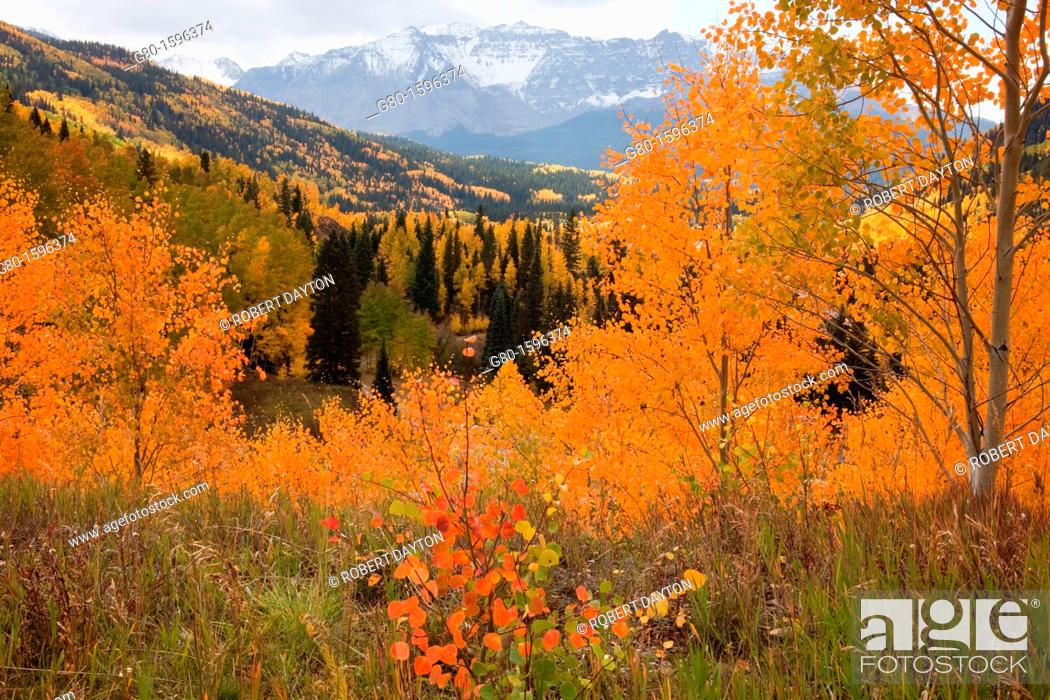 Stock Photo: Aspens in autumn in the Rocky Mountains.