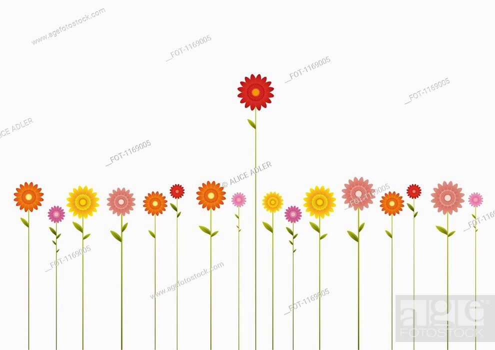 Stock Photo: A row of various colored Gerbera Daisies and one towering above them.