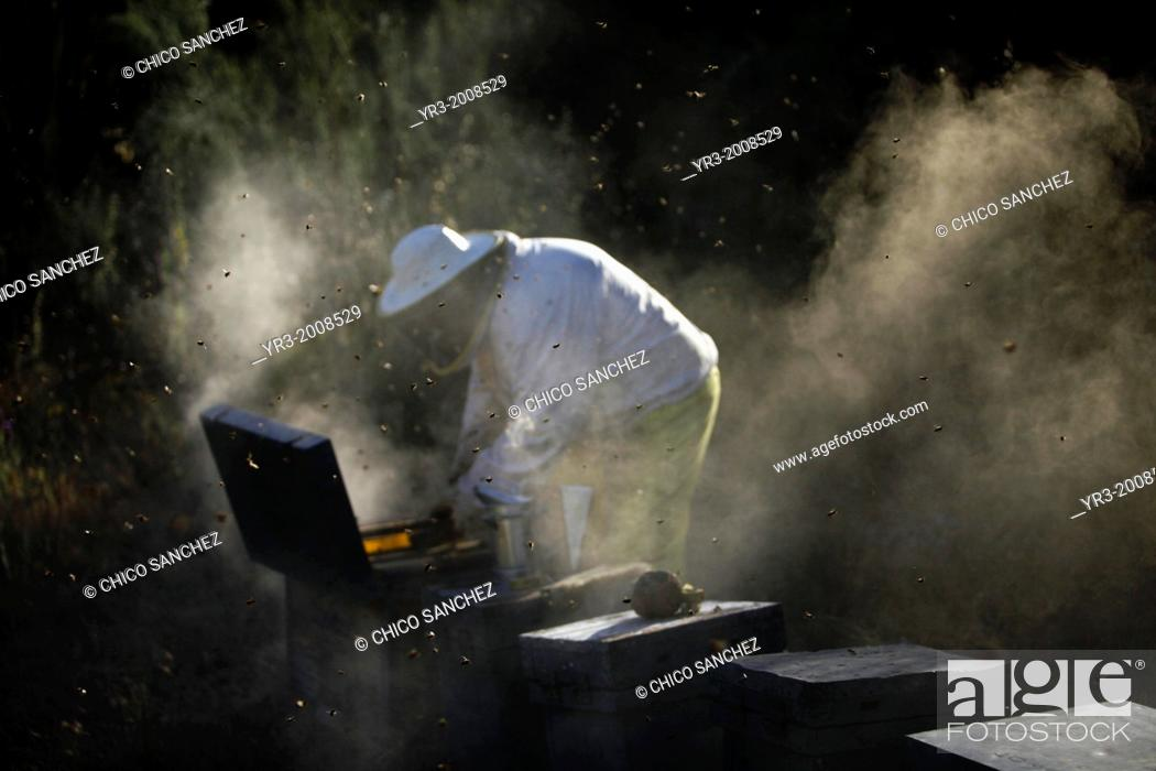 Stock Photo: A beekeeper of Puremiel, a honey company that produces organic raw honey, check beehives using smoke in Puerto Serrano, Cadiz, Andalusia, Spain, June 3, 2013.
